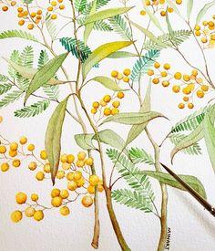 Image may contain: plant Australian Flowers, Australian Art, Illustration Blume, Watercolor Illustration, Mimosas, Watercolor Flowers, Watercolor Paintings, Watercolors, Mimosa Plant