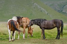 Cavalli al pascolo - horses grazing © Pietro D'Antonio