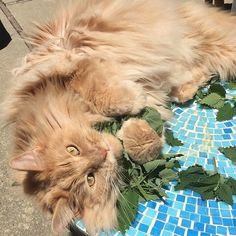 Every day is Earth Day. If it wasn't for the earth, water and the sun there would be no catnip. #mainecoon #catlife #catnip #mainecooncat #mainecoon_feature #mainecoonlover #catlady #catsofinstagram #catlovers #catsofworld #catsrule #cats_of_instagram #cats_of_world #catloversworldworld #catloversclub #catloversworld #bestmeow #giantcat #gato #neko #santacruzcalifornia #montereybay #centralcoast #california #earthday #cat_features #montereybaylocals - posted by Ale F…