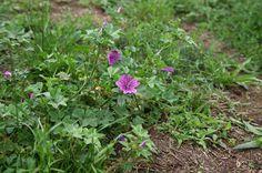 Gyerekkorom csemegéje: a PAPSAJT, Rendkívül jó gyulladás csökkentő! így csinálj belőle teát , láb-és kézfürdőt,borogatást! Plants, Flora, Plant, Planting