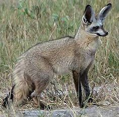 A canid native to the savannahs of Zambia, Angola, South Africa, Ethiopia, Sudan, and Tanzania, the bat-eared fox gets its name from its large ears, and is known for being around in some form for over 800,000 years. Also known as the big-eared fox, black-eared fox, and Delande's fox; it has black ears and tawny fur, and grows to about 1.5 feet (55 centimeters) long with ears that are about 5 inches (13 centimeters) high off its head.
