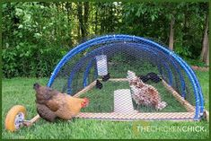 Chicken Tractor for integrating new birds with an existing flock.