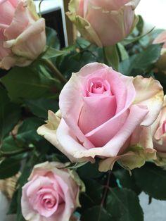 Rose rose... Rose, Plants, Flowers, Pink, Roses, Flora, Plant, Planting, Pink Roses