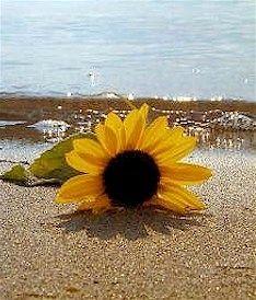 Sunflower and Sea Mist