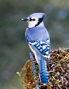 Love seeing these guys in the morning.: Animals, Bluejay Tattoo, Bluejay Inspiration, Blue Jays, Backyard Birds, Bluejay Feather Tattoo, Beautiful Birds, Gorgeous Bluejays