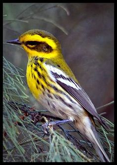 Townsends Warblers.
