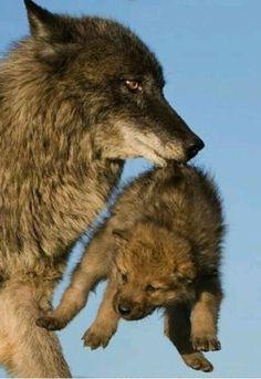 wolf Par JL Klein et ML Hubert