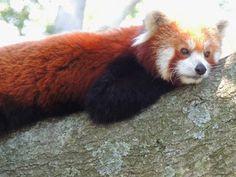 53 best red panda network images on pinterest red pandas animal