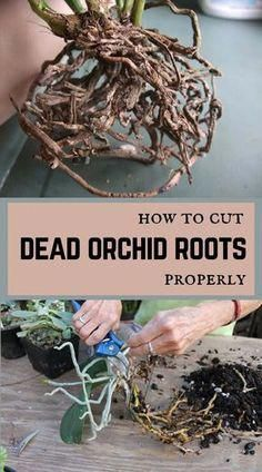 How to Cut Dead Orchid Roots Properly - Orchideen Orchids Garden, Orchid Plants, Garden Plants, House Plants, Orchid Repotting, Orchid Seeds, Phalaenopsis Orchid, Herb Garden, Gardening For Beginners