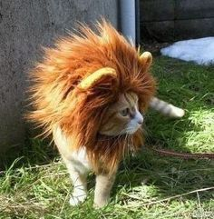 Cat in lion's clothing (mane, actually). So awesome.