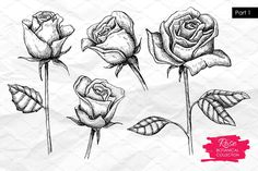Illustration of Vector hand drawn botanical rose set. Great for greating cards, backgrounds, wedding invitations vector art, clipart and stock vectors. Vector Hand, Free Vector Art, Free Vector Images, Vector Stock, Flower Sketches, Vintage Drawing, Rose Photos, Royalty Free Images, How To Draw Hands