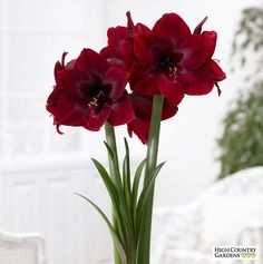 Red Pearl is one of the darkest red amaryllis.  Blooms are deep velvety crimson red.