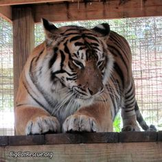 """""""Good Morning!"""" from Priya Tiger.  Photo by Mary Lou Geis"""