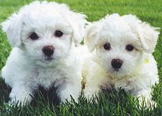 Dog Breed of the Day:  Bichon Frise