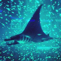 "@atasweiyuen's photo: ""Here comes the Manta Ray!! #mantaray #ray #fishes #sea #seaaquarium #aquarium #singapore #rws #sentosa #largest #black #schooloffishes #igsg #instaphoto #potd"""