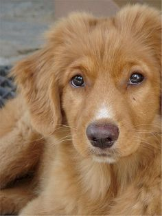 Love Nova Scotia Duck Tolling Retrievers! this will be my first dog!