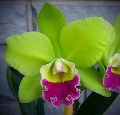 blc hsinying greenworth
