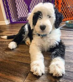The final Thursday All-Puppies Edition of DoodleTales features Cooper, a Sheepadoodle from Columbia, Maryland! Dog Grooming Shop, Dog Grooming Business, Dog Breeds Little, Best Dog Breeds, Cute Dogs And Puppies, Pet Dogs, Doggies, Sheepadoodle Puppy, Goldendoodles