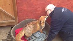 Лисичка любит своего спасителя