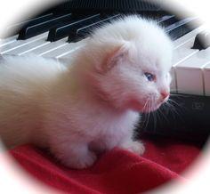 Blaze - Standard Flame Lynx Point and white - Napoleon Kitten