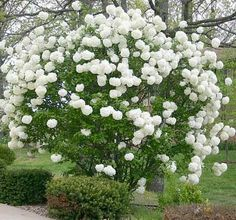 "Snowball Viburnum Bush - Viburnum. ""Few plants have flowers this large... and you'll get hundreds of them on each bush! Bright white blooms look like cheerleader pom-poms. You'll get flowers in mid spring that last through early summer."" Zone 4-8, H 10-20 ft, W 10-20 ft. by lakisha"