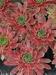 Sempervivum 'Lipari' - love this red! Types Of Succulents, Growing Succulents, Succulents In Containers, Cacti And Succulents, Planting Succulents, Cactus Plants, Garden Plants, Planting Flowers, Sempervivum