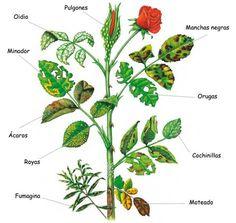 Enfermedades-y-plagas-Rosales-vivero-las-palmas