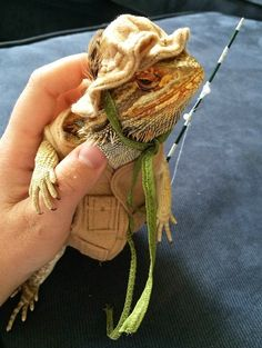 Lizard owners are now getting as crazy as cat and dog owners and putting their bearded dragons into wedding dresses, captain uniforms, and even shark costumes. Bearded Dragon Costumes, Fancy Bearded Dragon, Bearded Dragon Funny, Bearded Dragon Diet, Lizard Costume, Fish Costume, Shark Costumes, Funny Costumes, Cute Lizard