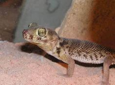 Plate-tailed Gecko