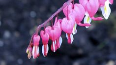'Bleeding heart'  from Heather at New House blog