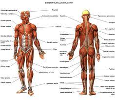 Sistema muscular: Fatos, Funções e Doenças Mais