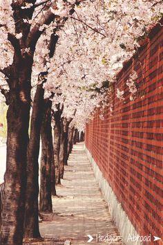 Spring is my favorite season in Korea! Cherry blossoms in Seoul, South Korea.