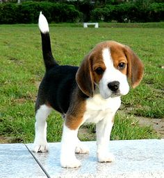 Are you interested in a Beagle? Well, the Beagle is one of the few popular dogs that will adapt much faster to any home. Whether you have a large family, p Cute Beagles, Cute Puppies, Cute Dogs, Dogs And Puppies, Doggies, Begal Puppies, Toy Dogs, Newborn Puppies, Baby Beagle