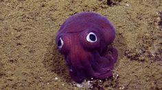 Científicos del E/V Nautilus encontraron al animal en la costa de California y…