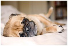 new obsession: Pugs! after seeing one the other night, I realized I have to have one.
