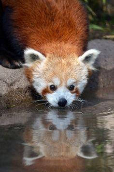 Imagenes osos panda: Fotografia oso panda rojo 29-06-14