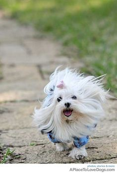 crazy maltese hair!