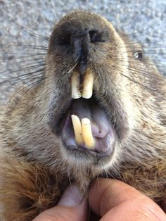Laurie, look at the size of these tooths!!!!!  Lol