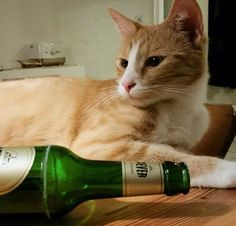 Cat drinking beer. Too much pawty.