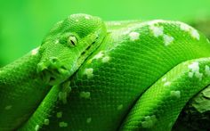 Green Boa Snake background wallpapers, Green Boa Snake desktop wallpapers Green Boa Snake for desktop Green Boa Snake wallpaper high quality Green Boa Snake high resolution HD and for desktop, lapt Giant Anaconda, Anaconda Snake, Green Anaconda, Snake Wallpaper, Wallpaper Pictures, Animal Wallpaper, Hd Wallpaper, Computer Wallpaper, Photo Wallpaper