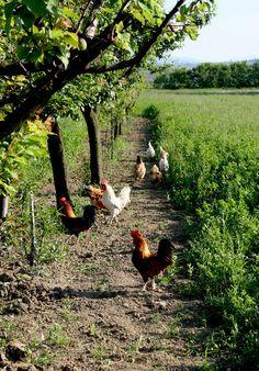 the poultry farm .. X ღɱɧღ ||