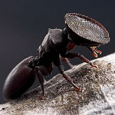 """Cephalotes varians or the Turtle Ant is a species of ant whose head has evolved into a """"door"""" that can block the entrance to its nest."""