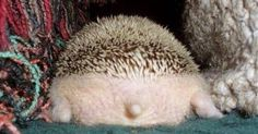 Hedgehogs I want and Chang'e 3 on Pinterest
