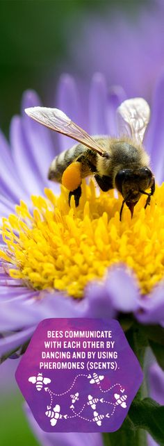 Find out more bee phenomenas on our page! Save The Bees, Amazing Things, Creatures, The Incredibles, Earth, Learning, Sweet, Projects, Candy