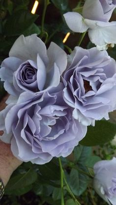 ~Blue Bayou Roses - Roses Forum - GardenWeb
