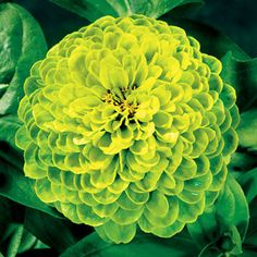 chartreuse zinnias...these are beautiful