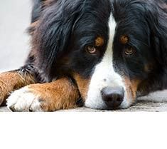 Bernese Mountain Dog - Click image to find more Animals Pinterest pins