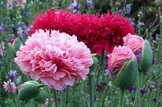 peony poppies - these are amazing!  @Laurie Wessman