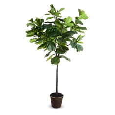 This popular tropical tree is an attractive way to fill a large indoor space with life. The lifelike Fiddle-Leaf Fig Tree reproduction has wide flat leaves on wired branches for easy shaping. The 9' h #MajesticVision