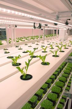 We design and manufacture fully controlled environment chambers using hydroponic systems to grow a wide variety of leafy plants. Checks our website, for more info. Indoor Farming, Hydroponic Farming, Aquaponics Greenhouse, Hydroponic Growing, Hydroponics System, Leafy Plants, Indoor Plants, Agriculture, Vertical Farming